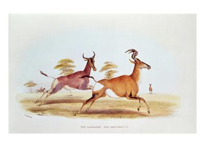 The Sassaybe and the Hartebeest, Illustration from 'Wild Sports of South Africa', by W.C. Harris