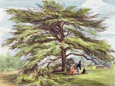 The Lebanon Cedar Tree in the Arboretum, Kew Gardens, Plate 21
