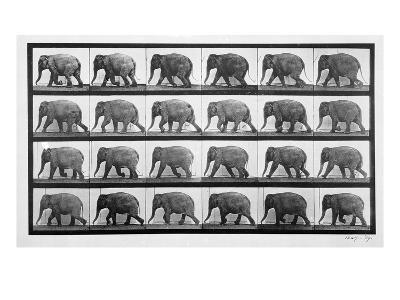 Elephant Walking, Plate 733 from 'Animal Locomotion', 1887 (B/W Photo)