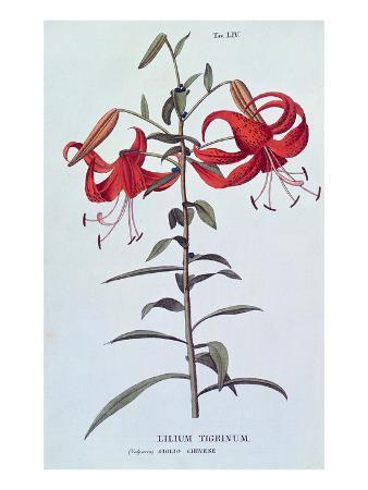 """Lilium Tigrinum (Tiger Lily) from """"L'Antrotrofia Ossia La Coltirazione De Fiori"""""""