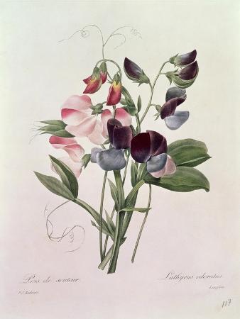 Sweet Peas (Lathyrus Odoratur) from 'Choix Des Plus Belles Fleurs', 1827-33