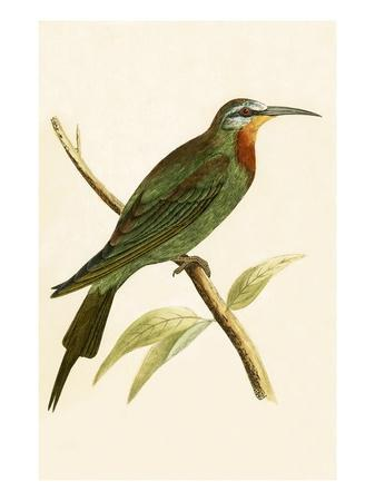 Blue Cheeked Bee Eater,  from 'A History of the Birds of Europe Not Observed in the British Isles'