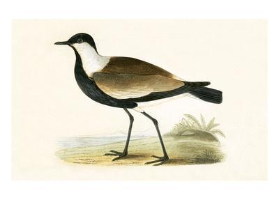 Spur Winged Plover,  from 'A History of the Birds of Europe Not Observed in the British Isles'