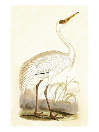 Siberian Crane,  from 'A History of the Birds of Europe Not Observed in the British Isles'