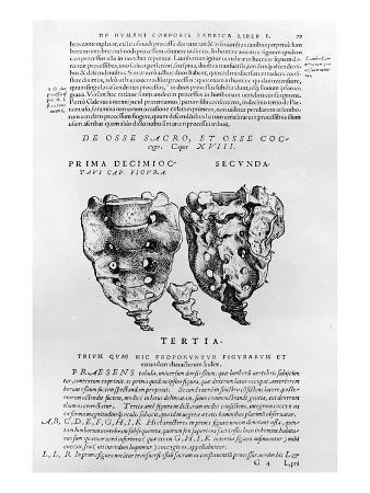 Vertebrae, Cocyx (B/W Print)