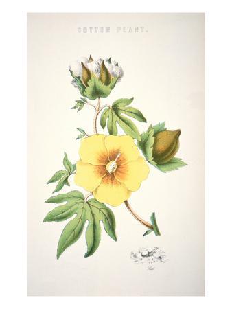 A Cotton Plant (Colour Litho)