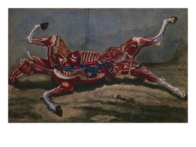 Anatomy of a Horse, from 'Cours D'Hippiatrique Ou Traite Complet De La Medecine Des Chevaux'