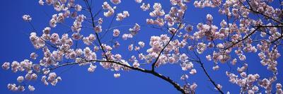 Cherry Blossoms Washington DC USA