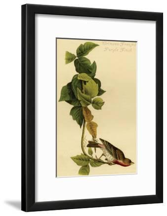 Crimson Fronted Purple Finch Posters John James Audubon Allposters Com
