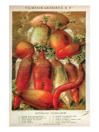 Betteraves Fourragers - Tuber Vegetables