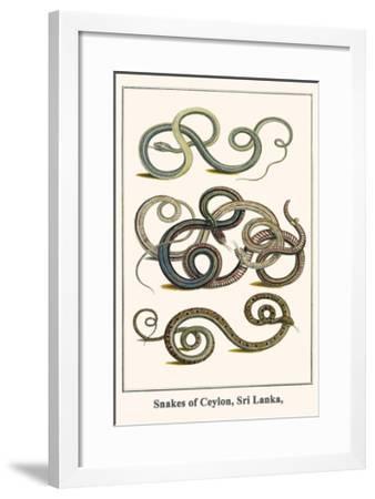 Snakes Of Ceylon Sri Lanka Posters Albertus Seba Allposters Com