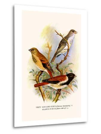 Grey Singing Finch Or Canary And Alario Finch Prints F W Frohawk Allposters Com