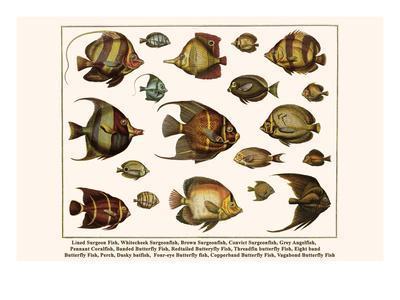 Lined Surgeon Fish, Whitecheek Surgeonfish, Brown Surgeonfish, Convict Surgeonfish, etc.