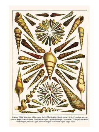 Arabian Tibia, Shin-Bone Tibia, Auger Shells, Marlinspike, Duplicate Turritella, etc.