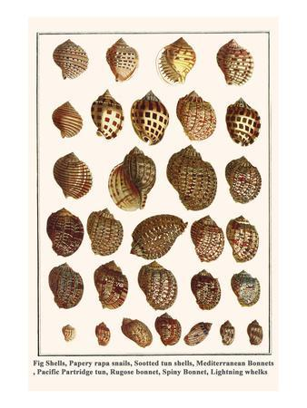 Fig Shells, Papery Rapa Snails, Sootted Tun Shells, Mediterranean Bonnets, etc.