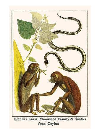 Slender Loris, Moonseed Family and Snakes from Ceylon