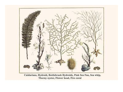 Cnidarians, Hydroid, Bottlebrush Hydroids, Pink Sea Fan, Sea Whip, Thorny Oyster, Flower Head, etc.