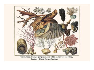 Cnidarians, Orange Gorgonian, Sea Whip, Violescent Sea Whip, Feathery Black Coral, Caulerpa