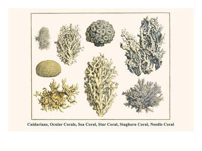 Cnidarians, Ocular Corals, Sea Coral, Star Coral, Staghorn Coral, Needle Coral