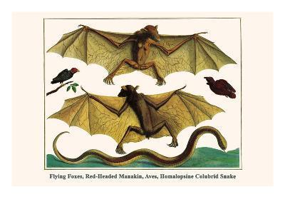 Flying Foxes, Red-Headed Manakin, Aves, Homalopsine Colubrid Snake
