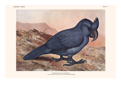 Lophopsittacus Mauritanus