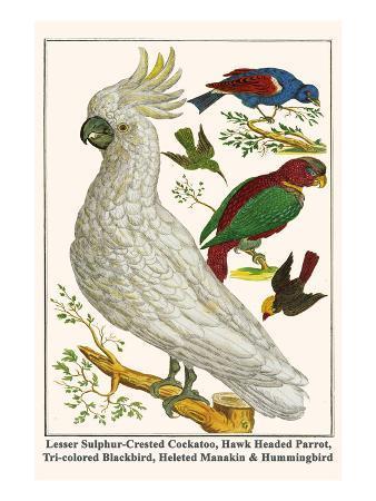 Lesser Sulphur-Crested Cockatoo, Hawk Headed Parrot, Tri-Colored Blackbird, Heleted Manakin, etc.