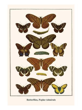 Butterflies, Poplar Admirals