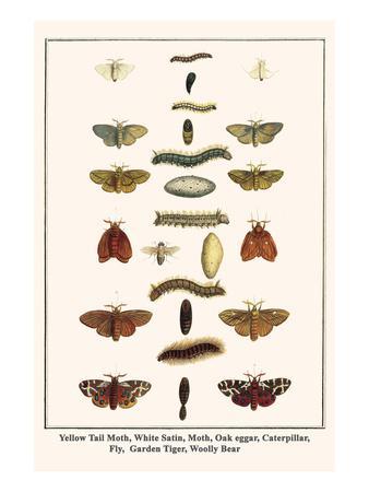 Yellow Tail Moth, White Satin, Moth, Oak Eggar, Caterpillar, Fly, Garden Tiger, Woolly Bear