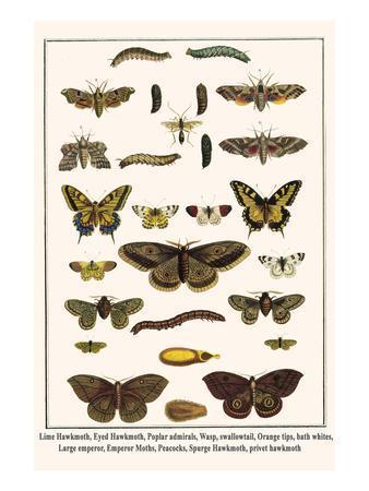 Lime Hawkmoth, Eyed Hawkmoth, Poplar Admirals, Wasp, Swallowtail, Orange Tips, Bath Whites, etc.