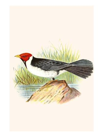Yellow Billed Cardinal, Brown Throated or Lesser Cardinal