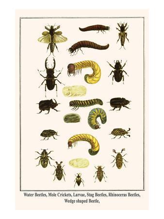 Water Beetles, Mole Crickets, Larvae, Stag Beetles, Rhinoceras Beetles, Wedge Shaped Beetle,