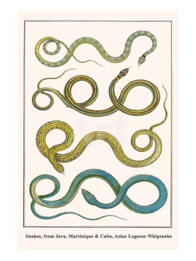 Snakes, from Java, Martinique and Cuba, Asian Lognose Whipsnake