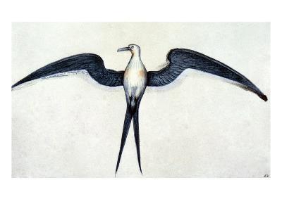 White: Frigate Bird