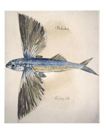 Flying-Fish, 1585