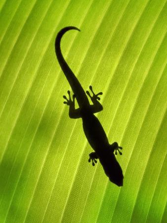 Madagascar Day Gecko on Palm Leaf, Phelsuma Madagascariensis, Masoala Nat'l Park, East Madagascar