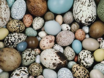 Bird Egg Collection, Western Foundation of Vertebrate Zoology, Los Angeles, California