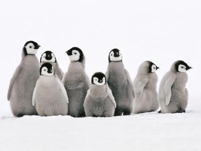 Emperor Penguin Chicks, Aptenodytes Forsteri, Weddell Sea, Antarctica