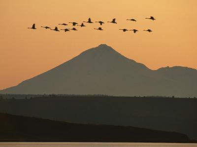 Whistling Swans Flying Near Mt Shasta, Cygnus Columbianus, Klamath Basin Nat'l Wildlife Refuge, CA