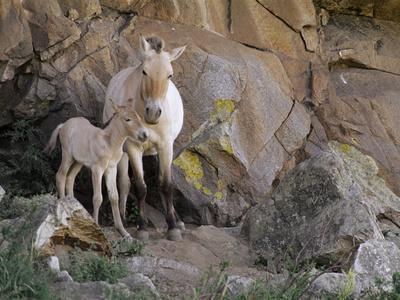 Takhi Mare with Foal, Equus Caballus Przewalskii, Hustain Nuruu National Park, Mongolia