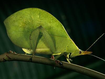 Green Leaf-Mimic Katydid, Aegimia Elongata, La Selva, Costa Rica