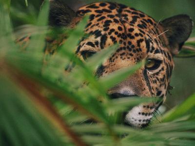 Jaguar in Undergrowth, Panthera Onca, Belize