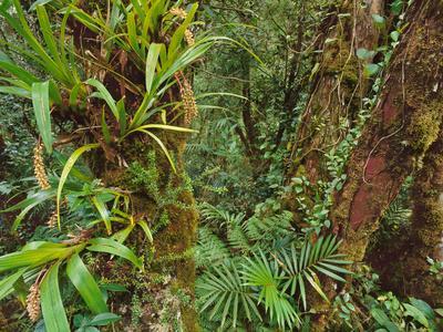 Epiphytes in Cloud Forest, Mt Kinabalu National Park, Sabah, Borneo