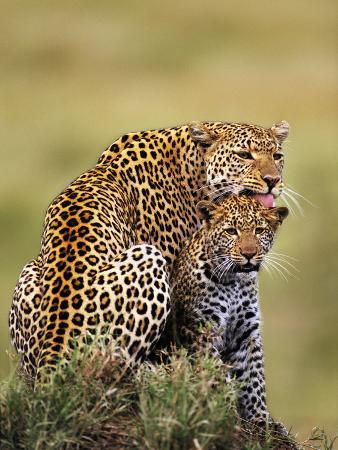 Leopard Licking Cub, Panthera Pardus, Masai Mara National Reserve, Kenya
