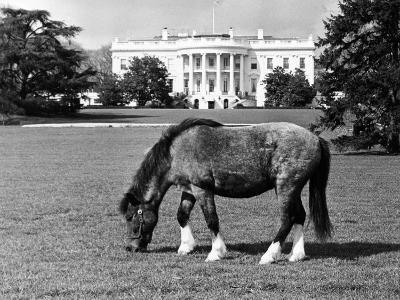 Caroline Kennedy's Pony 'Macaroni' Pastures on the White House Lawn, March 16, 1962