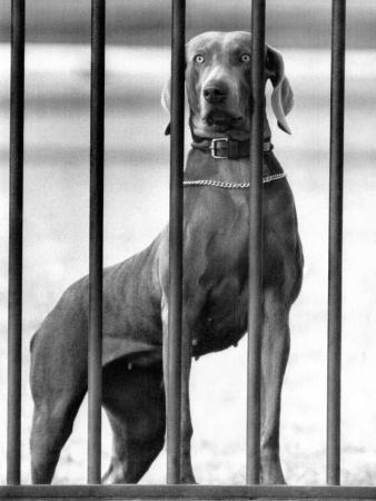 President Eisenhower's Dog, Heidi, a Weimaraner, Peering Out the White House Fence, March 5, 1958