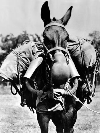 Army Mule Wearing an M-5 Type of Gas Mask