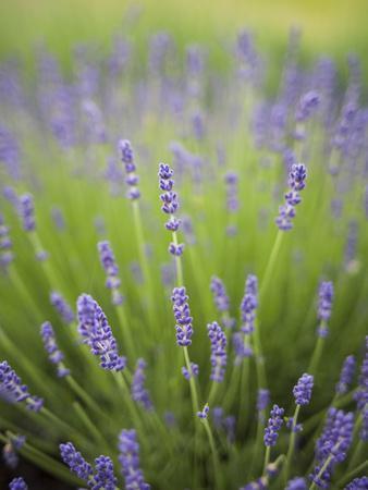 Lavender Plants, Washington, USA
