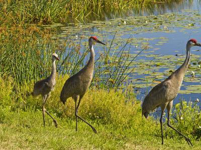 Sandhill Crane, Florida, USA