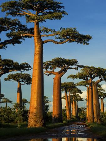 Baobab (Adansonia Grandidieri), Near Morondava, Madagascar