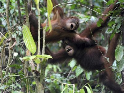 Orangutan, Sepilok, Borneo, Malaysia